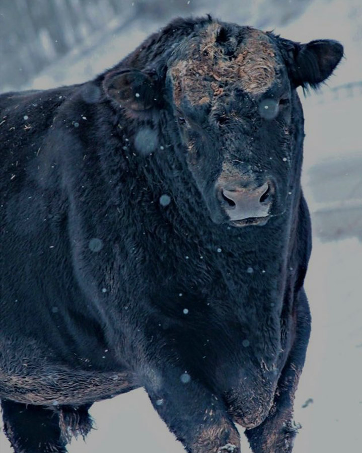 cow-in-snow